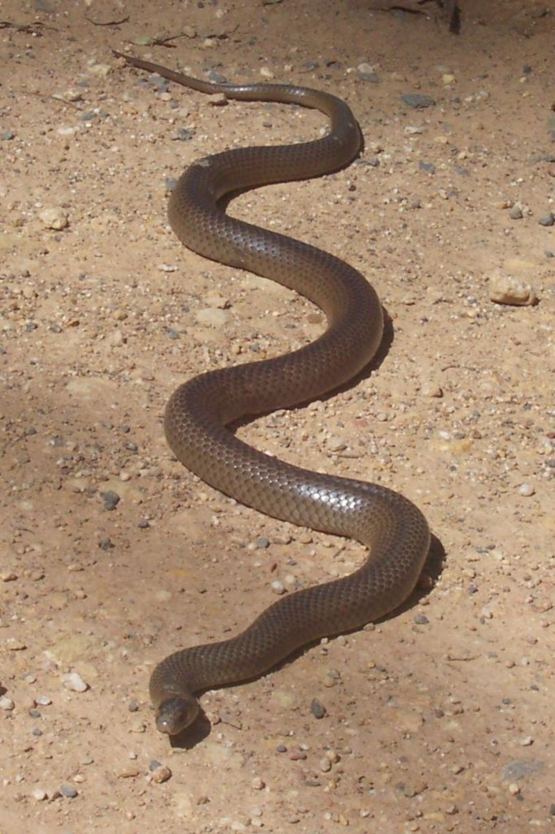 The eastern brown snake has highly potent venom.  However, it normally defends itself with a non-fatal bite, which means that the mortality rate for an untreated snakebite is only 10-20%, surprisingly low.