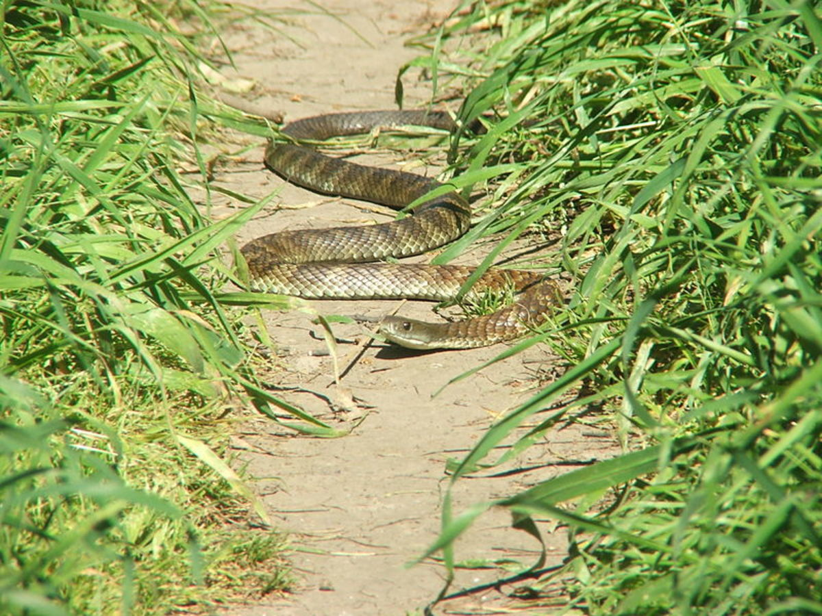 A common tiger snake in Banyule Flats Reserve, Melbourne.  It is illegal to export a native Australian snake and in most states, tiger snakes are a protected species, so it is illegal to kill or injure them.