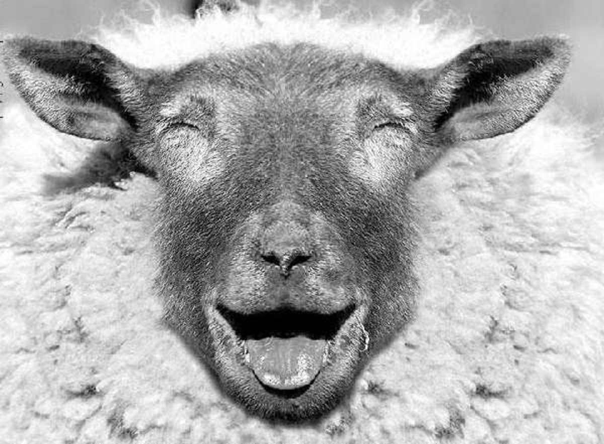 laughing sheep