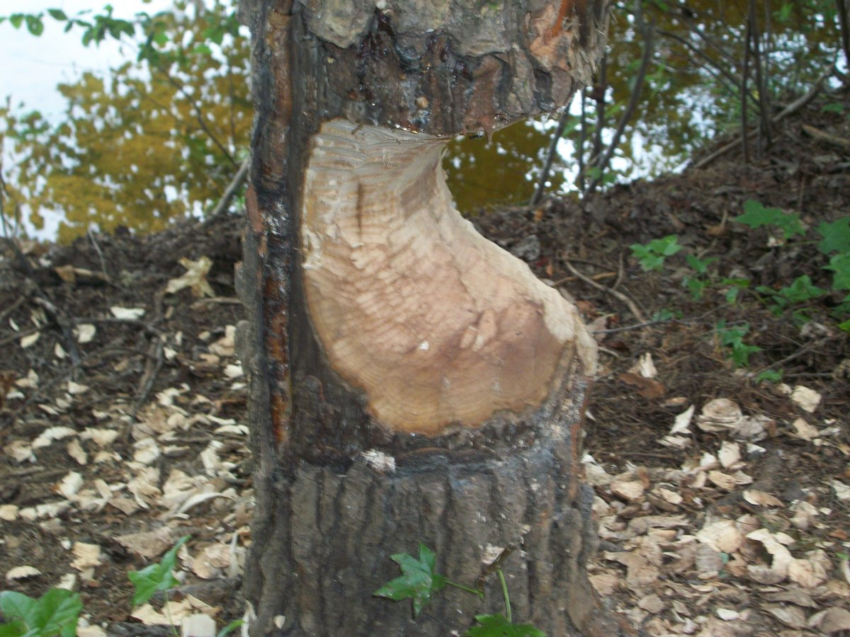 By the lake, some beavers chewed up a tree.