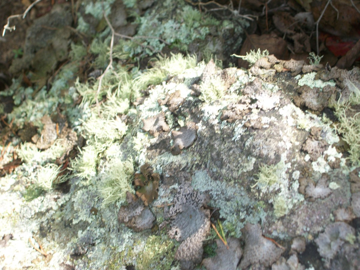 Species of moss found growing on a rock at Crowders Mountain State Park, Kings Mountain, NC