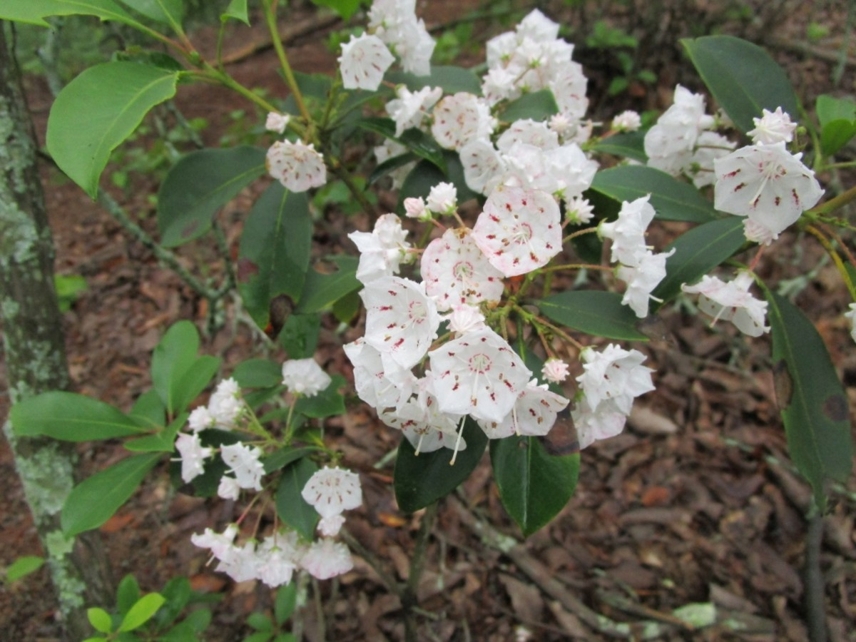 Mountain Laurel grows along the Rocktop Trail at Crowders Mountain State Park.