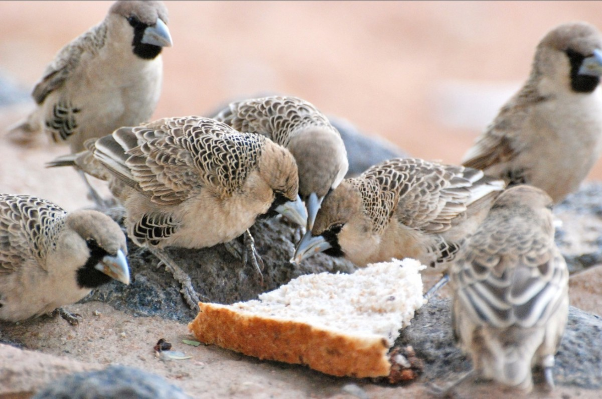 Sociable Weavers sharing a slice of bread.