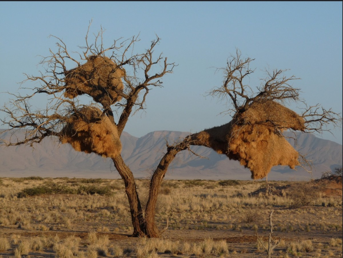 Monstrous nests built by the sociable weavers in Namibia, South Africa