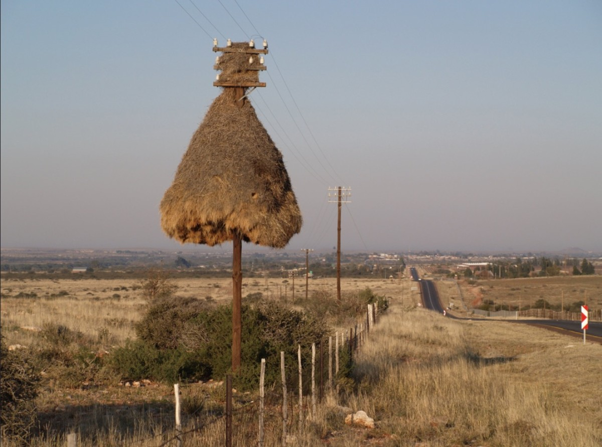 A large Sociable Weaver colony utilizing an electrical pole.