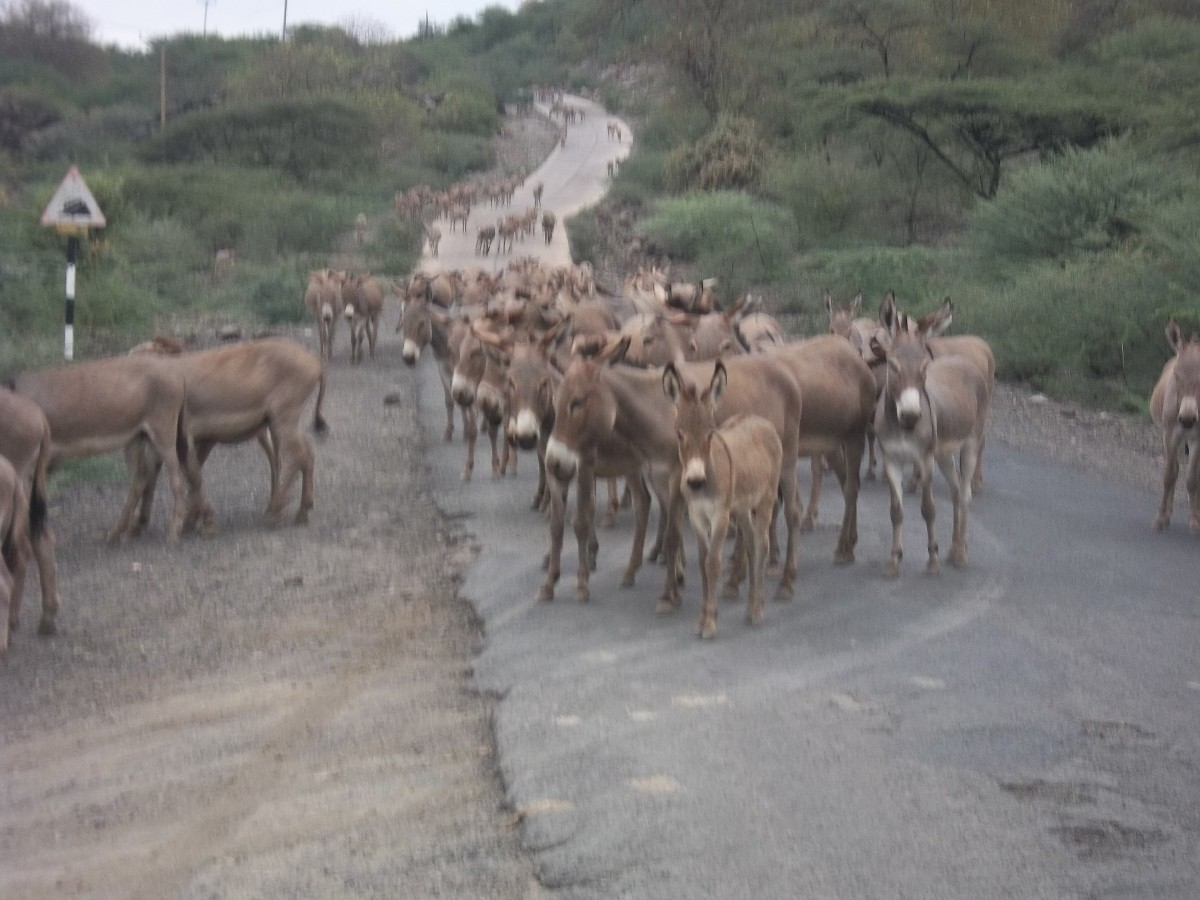 """It is still too early for the meeting,"" the lead donkey seems to say as the pack grazes its way to Ole Tepesi"