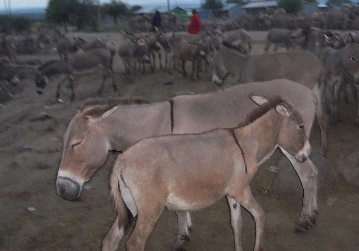 A donkey and its offspring prepare to nap for the night