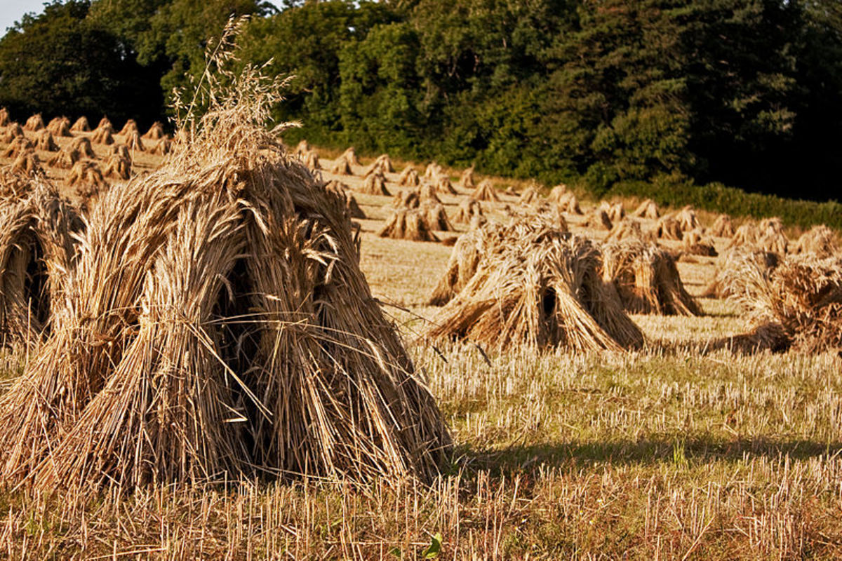 Stooks of Barley in West Somerset