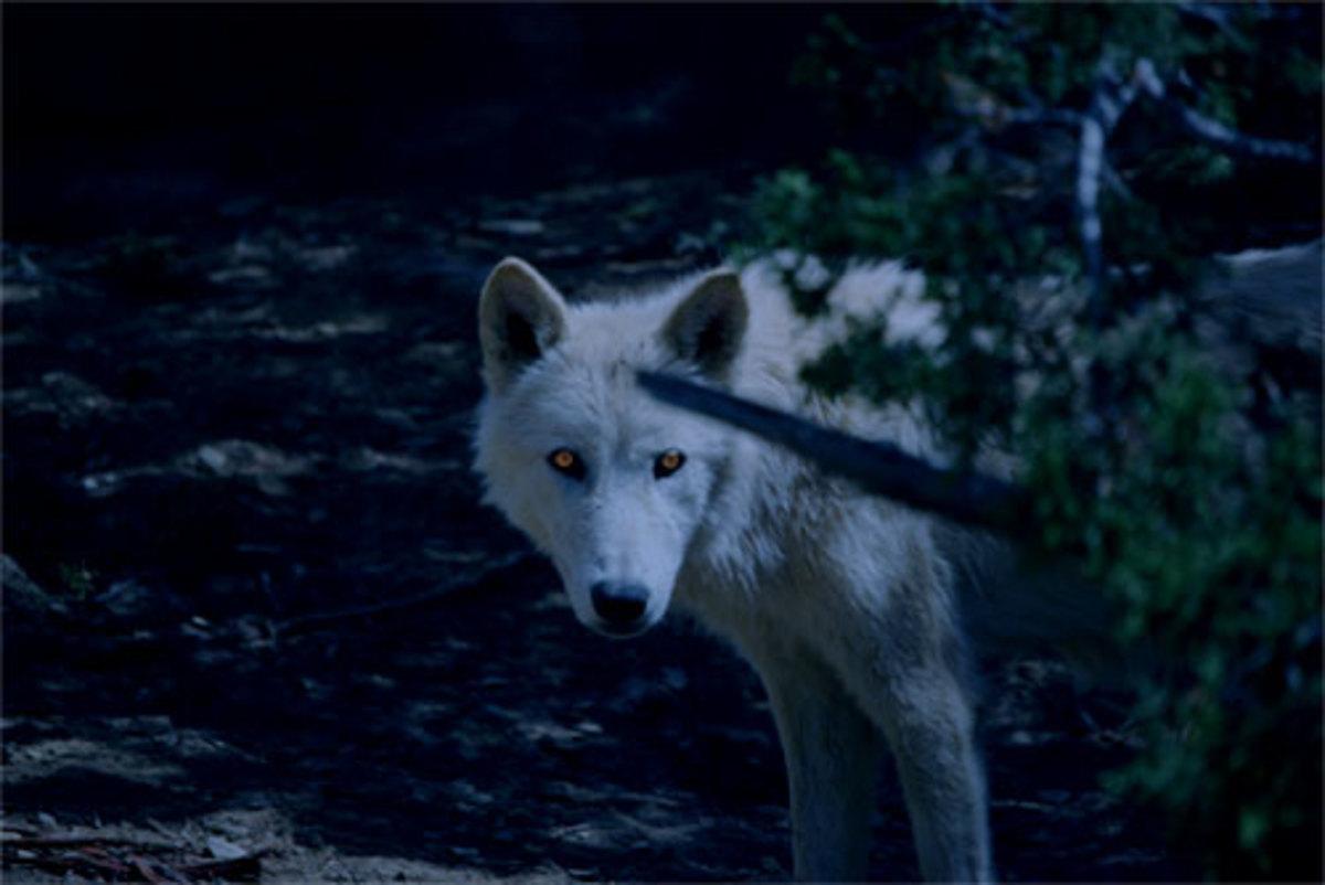 the great white werewolf