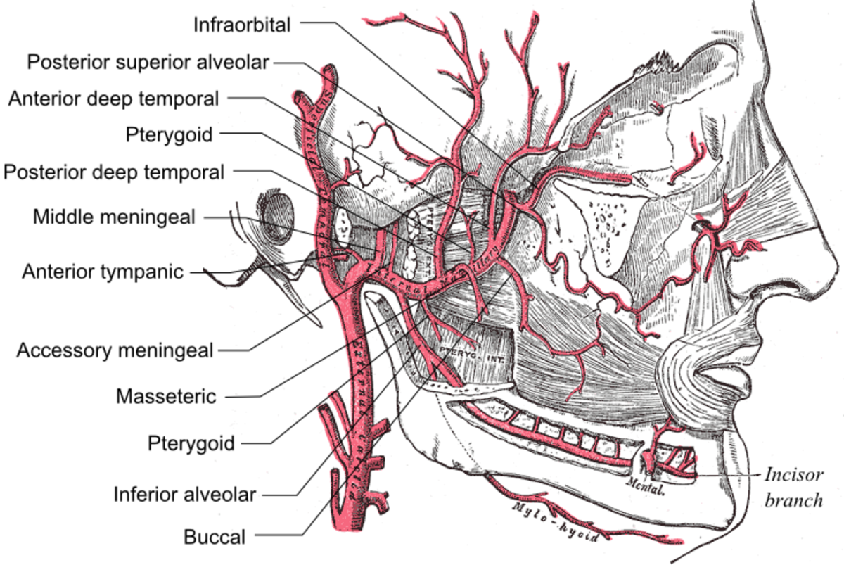 anatomy-mnemonics-easy