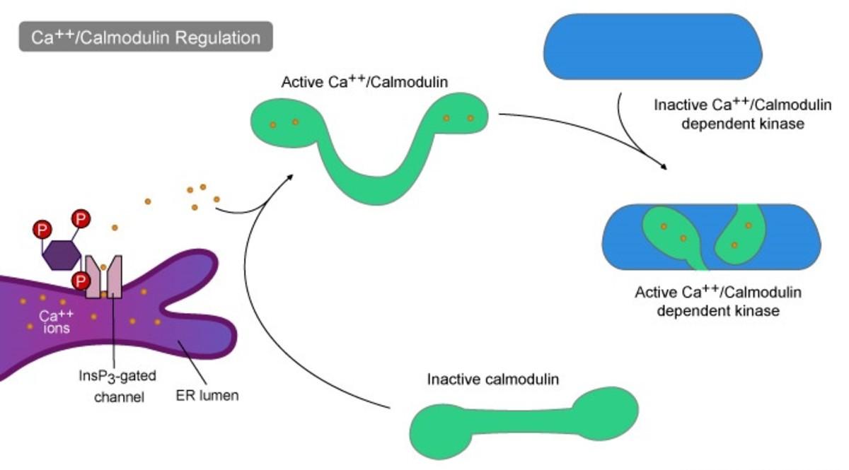 Calmodulin as second messenger