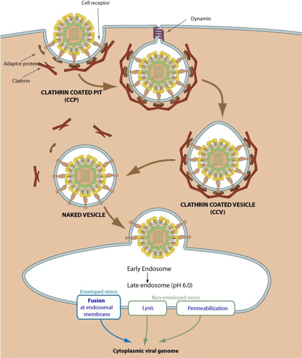 Receptor mediated direct penetration virus — img 2