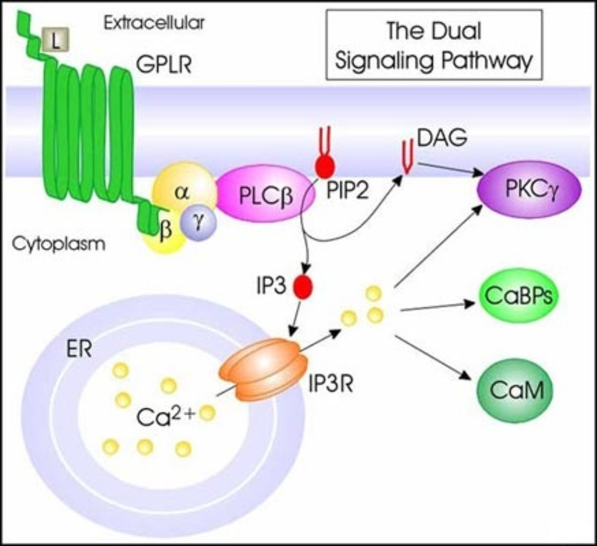 IP3 - a second messenger - releases intracellular  calcium - another second messenger!