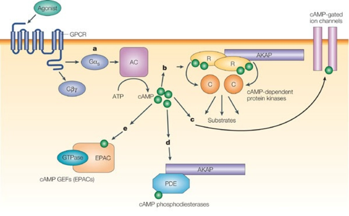 Mechanism of action of cyclic amp (cAMP)