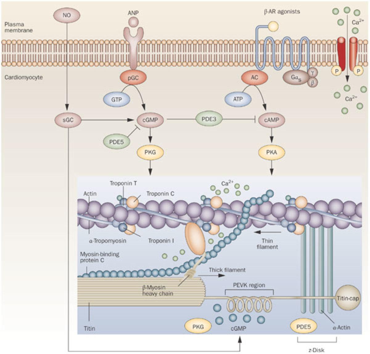 cGMP 2nd messenger pathway