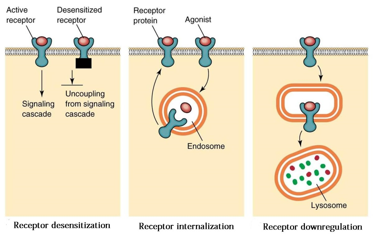 Three ways to stop receptors from working