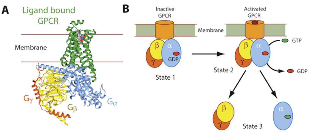 G protein coupled receptor cascade