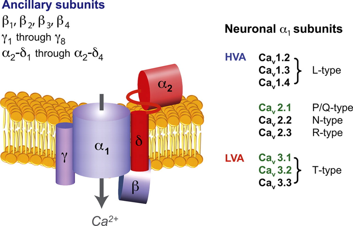 Subunit assembly and subtypes of voltage-gated calcium channels