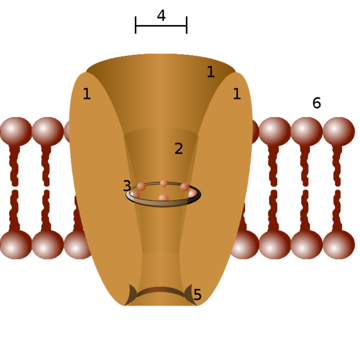 Diagram of an Ion Channel: 1 - channel domains (typically four per channel), 2 - outer vestibule, 3 - selectivity filter, 4 - diameter of selectivity filter, 5 - phosphorylation site, 6 - cell membrane.