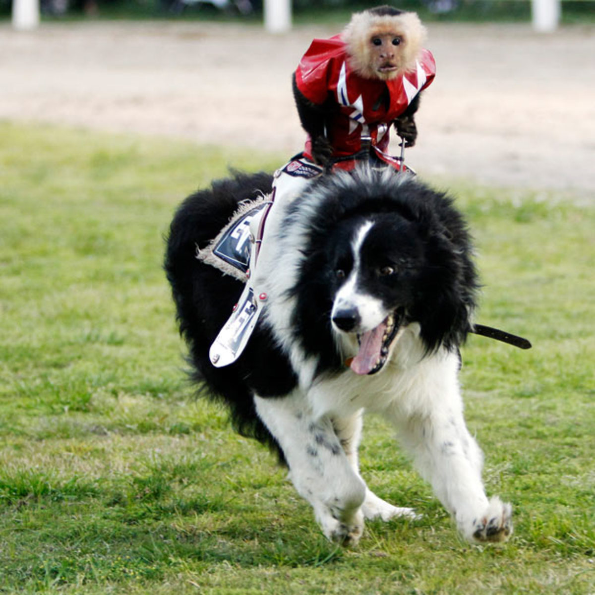 A Capuchin Monkey, Riding Australian Border Coolie Dog