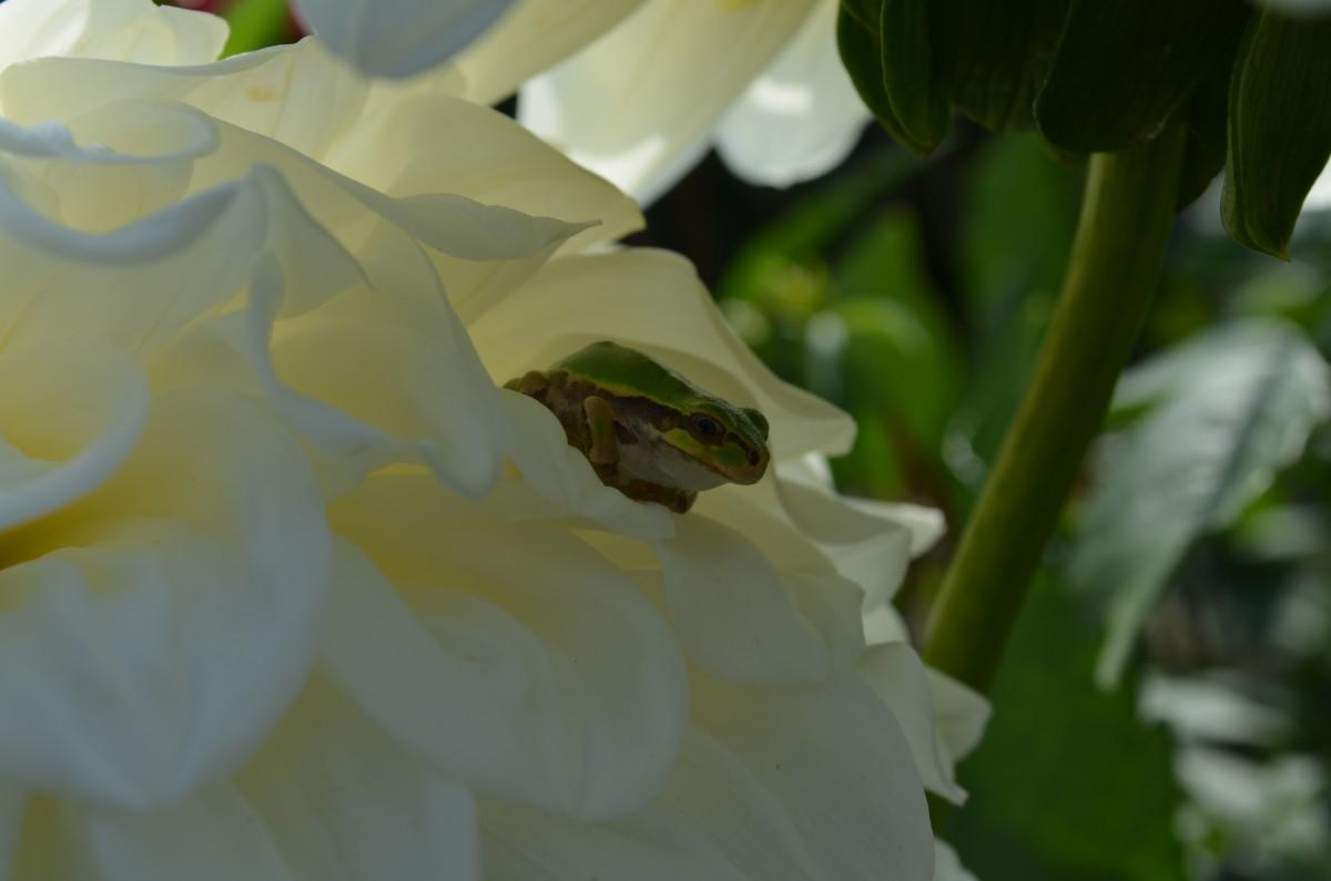 A small frog enjoys the shade of a ball dahlia
