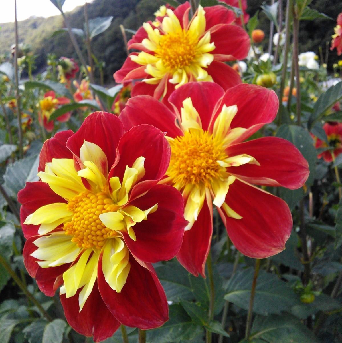 Beautiful collerette dahlias