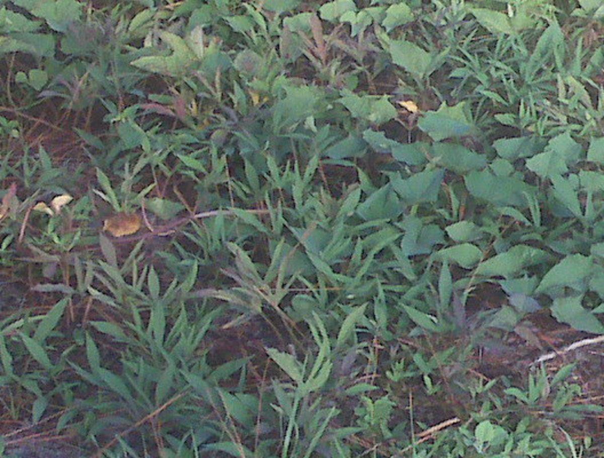 Three varieties of sweet potato greens in my old backyard garden. (2010)