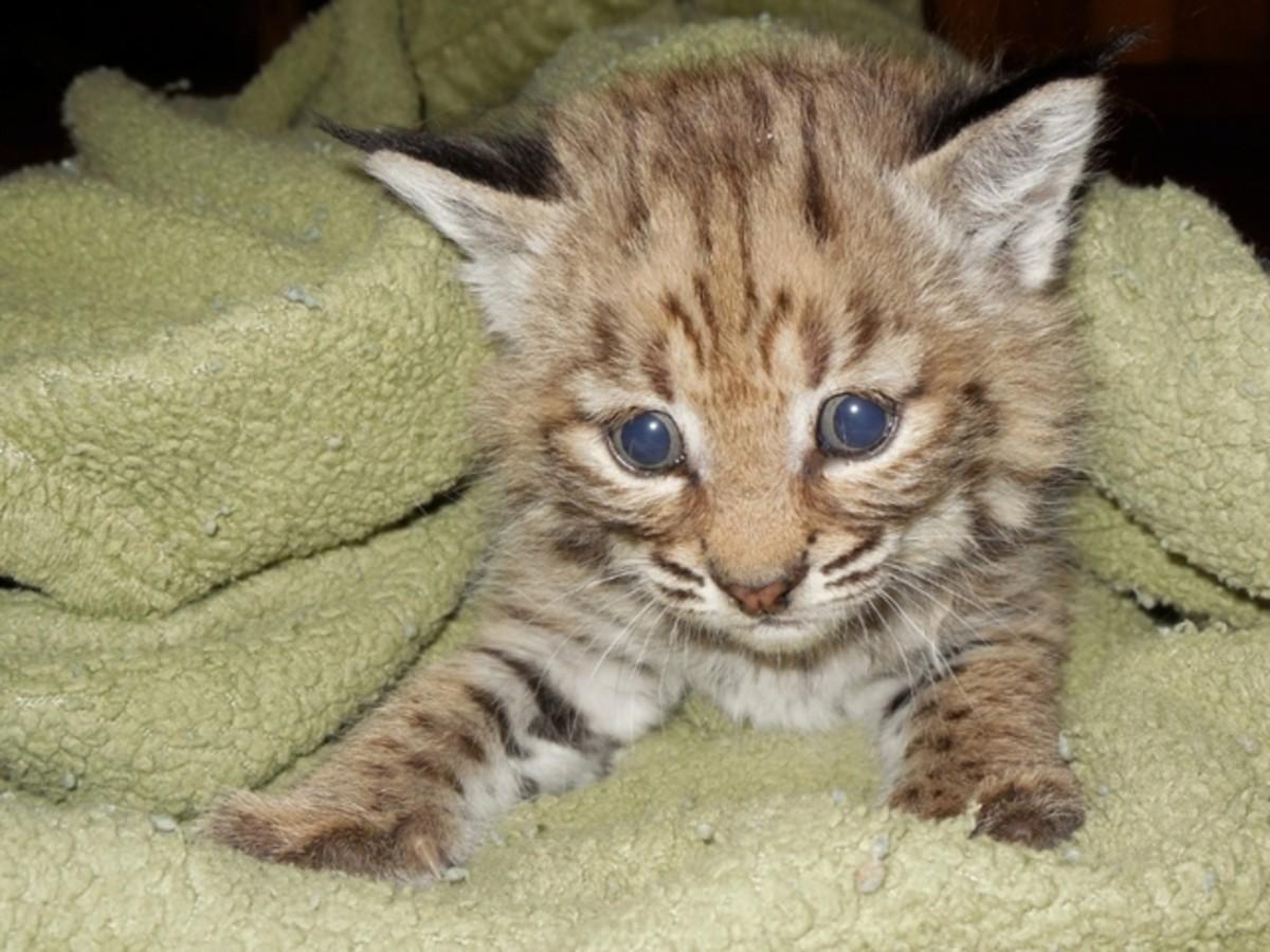 A Rescued Bobcat