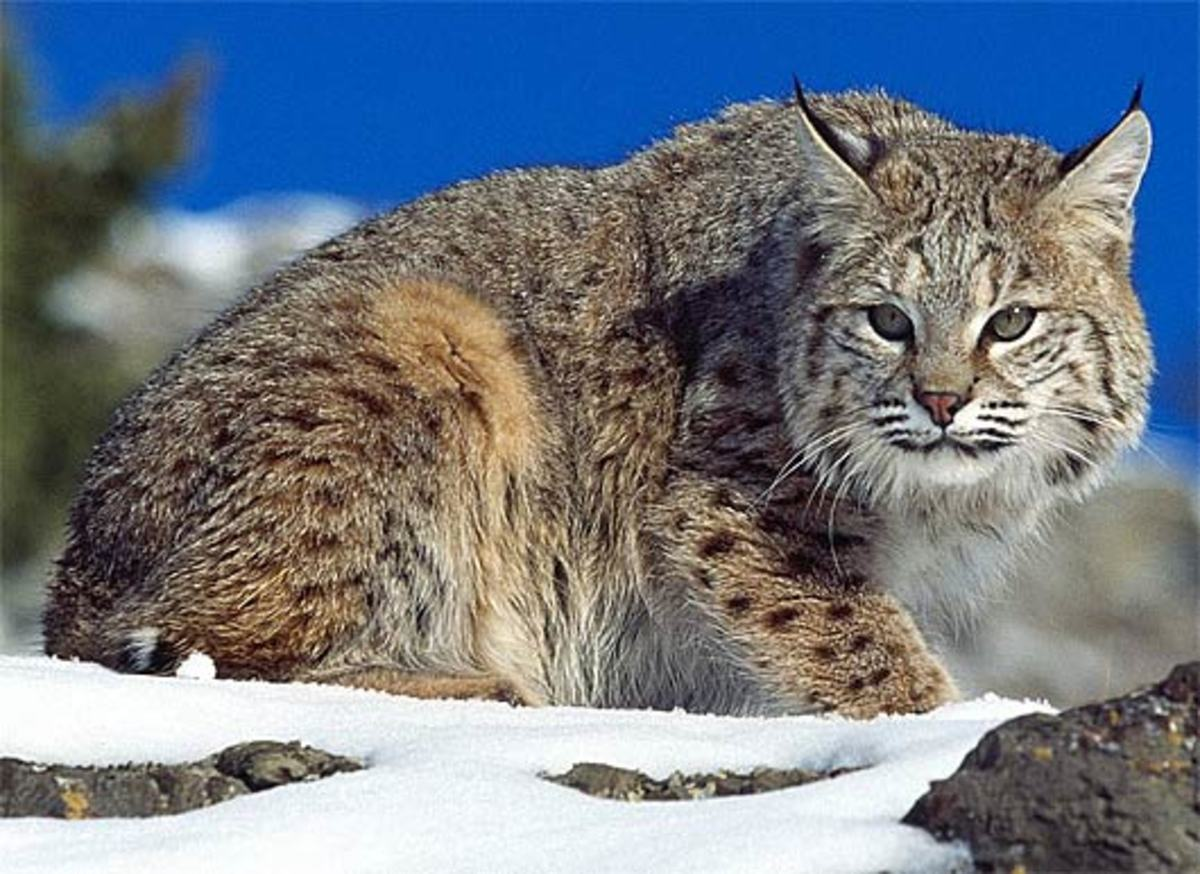 Bobcat With a Look