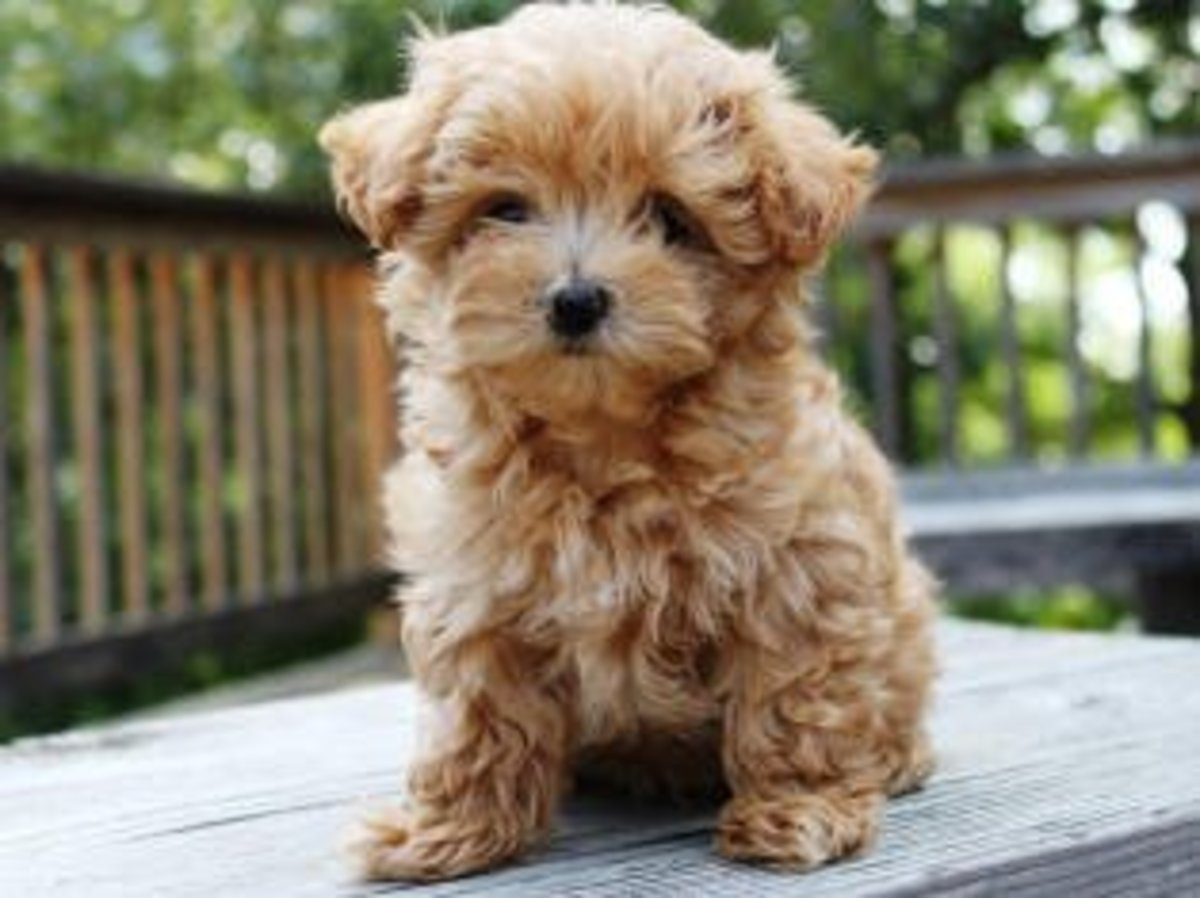 Top 10 Most Popular Cross Breed Dogs Hubpages