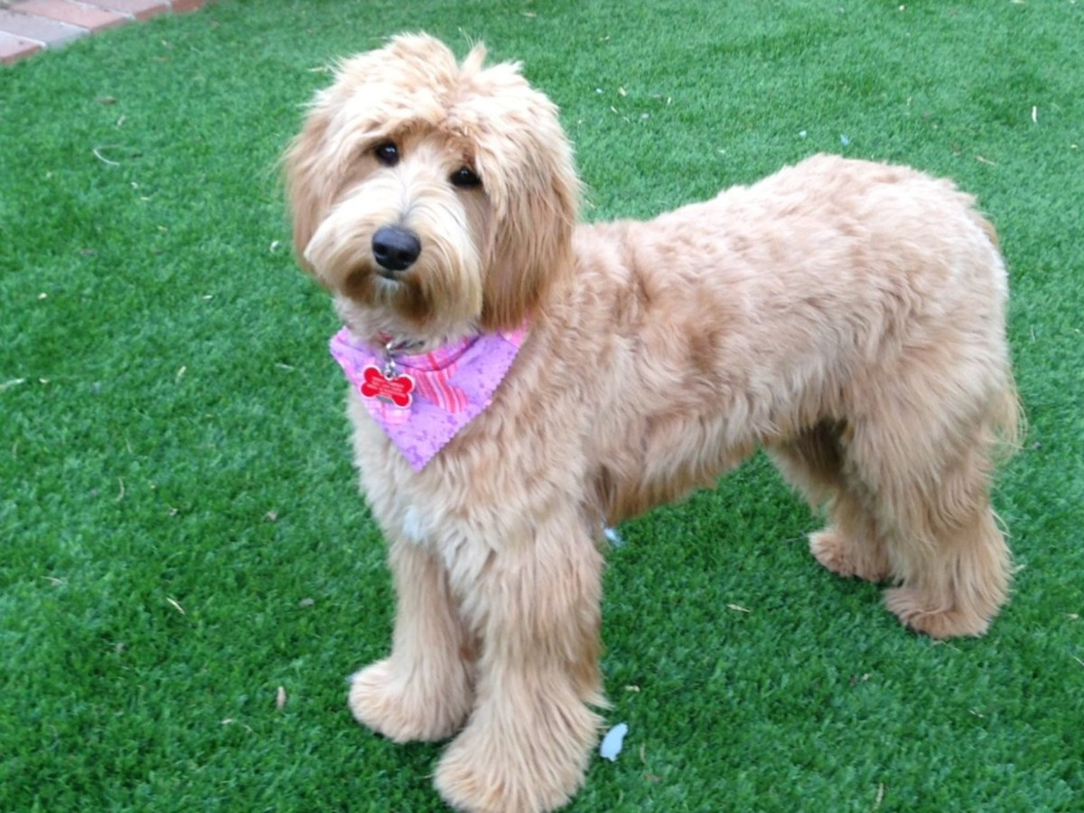Top 10 Most Popular Cross-Breed Dogs