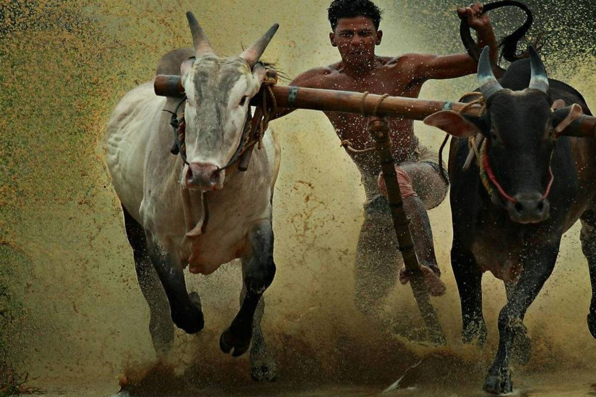 Traditional Bull Racing in Kerla