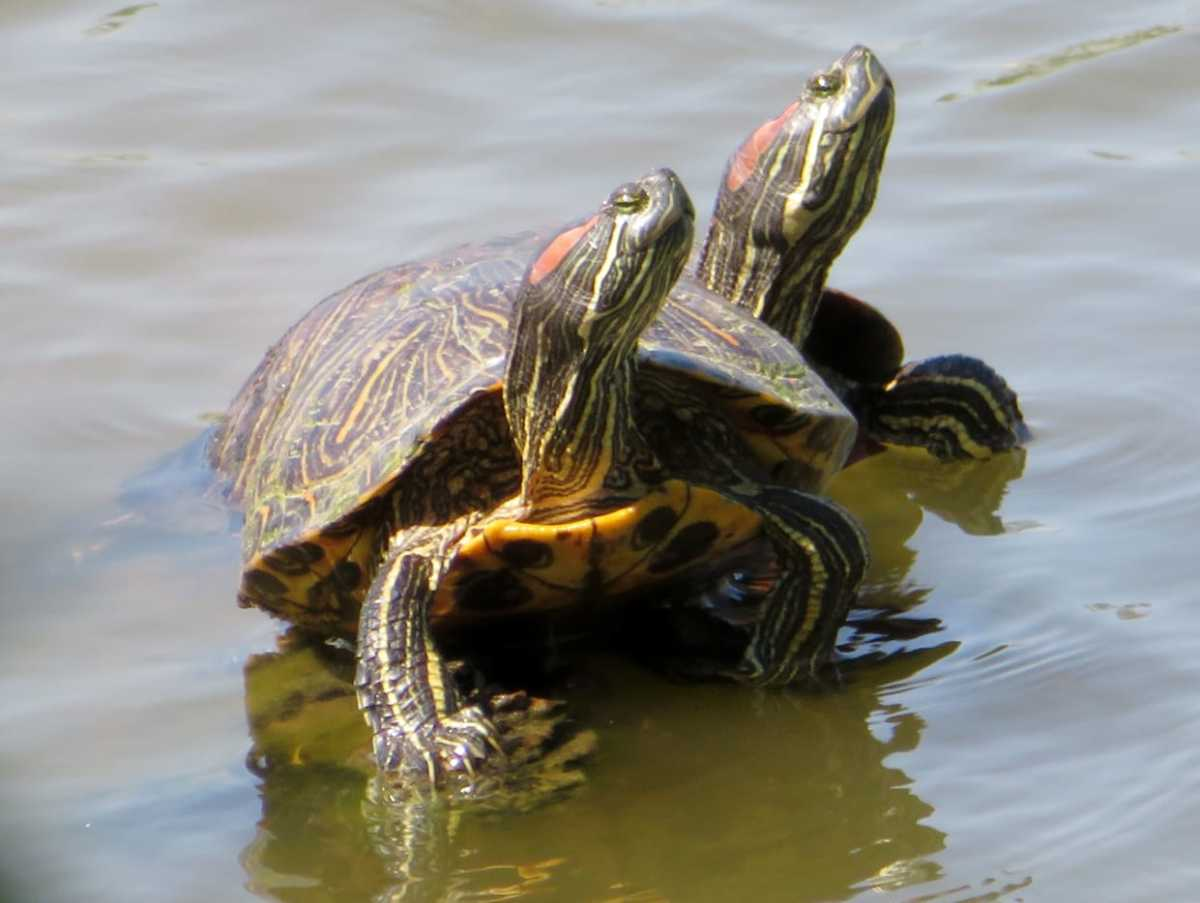 Learn About Red Eared Slider Turtles: Photos, Videos, and Info.