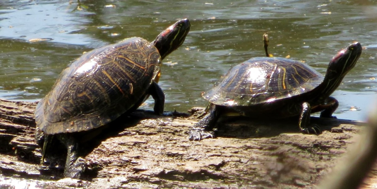 Two red-eared slider turtles