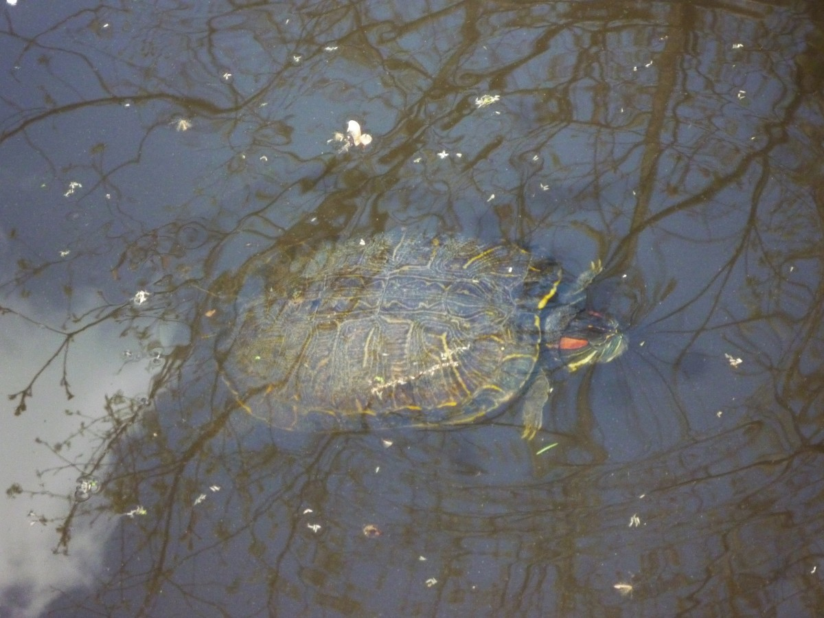 Red Eared Slider photo taken at the Houston Audubon Society