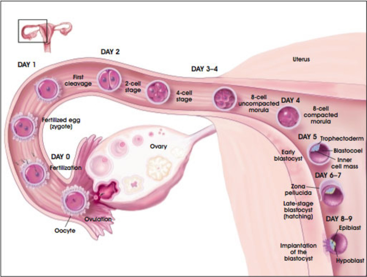 Stages of Fertilization of a Ovum