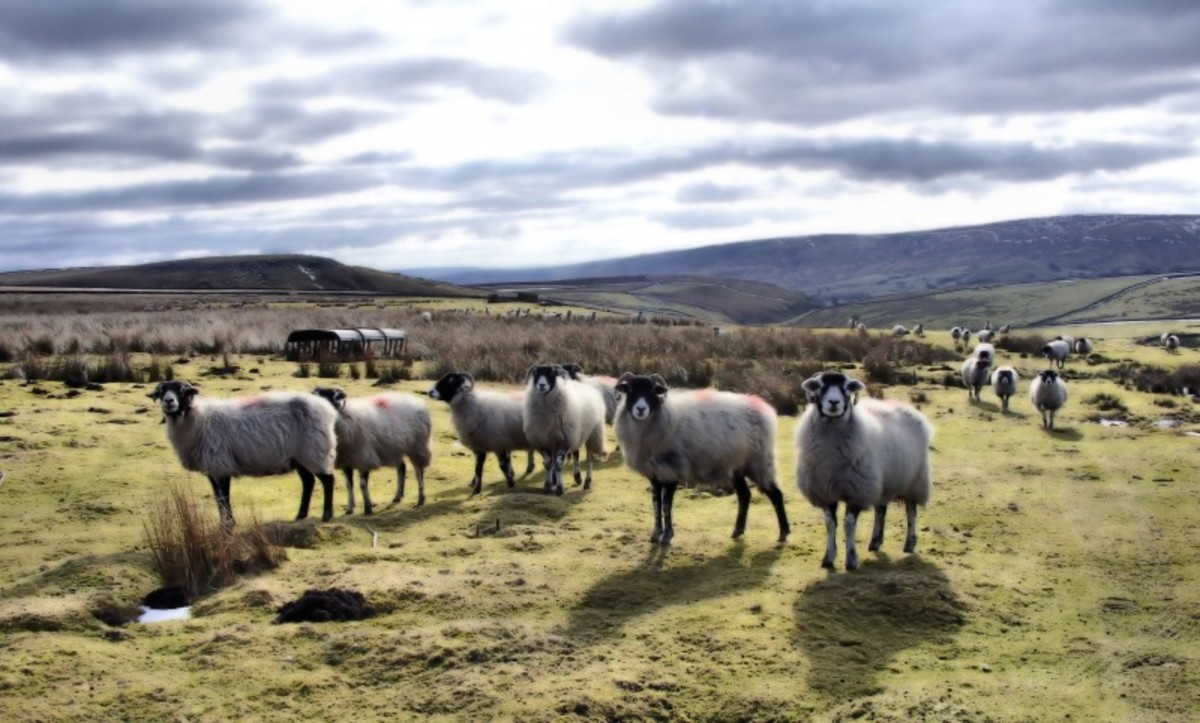 Sheep and Dales, Dales and sheep, identifiable together with the black and white Border Collie to round them up as long as they 'don't run t' meat off t' flock' (run them thin). Looking west across the high ground in the Yorkshire Dales