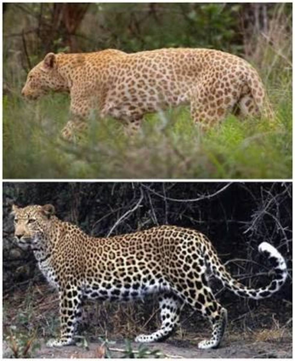 The Strawberry Leopard (top) versus the Normal version (bottom) - Pinterest