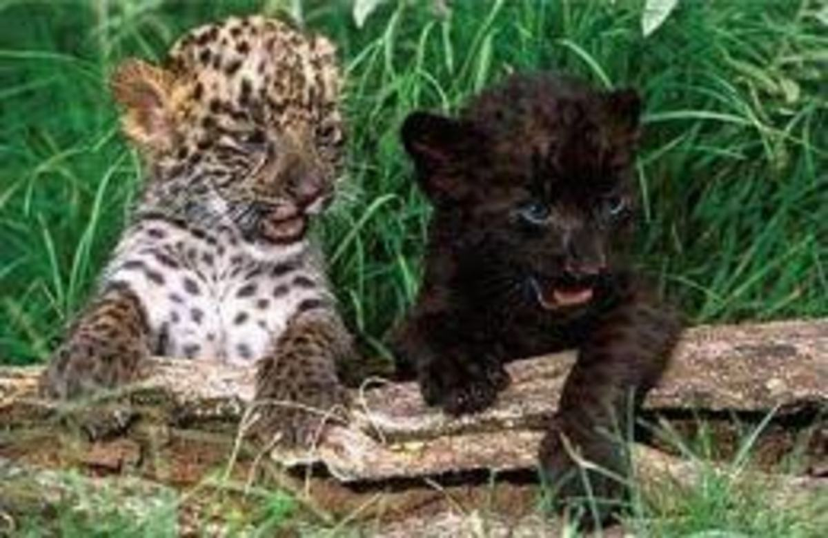 An example of two different leopard morphs from a single litter.