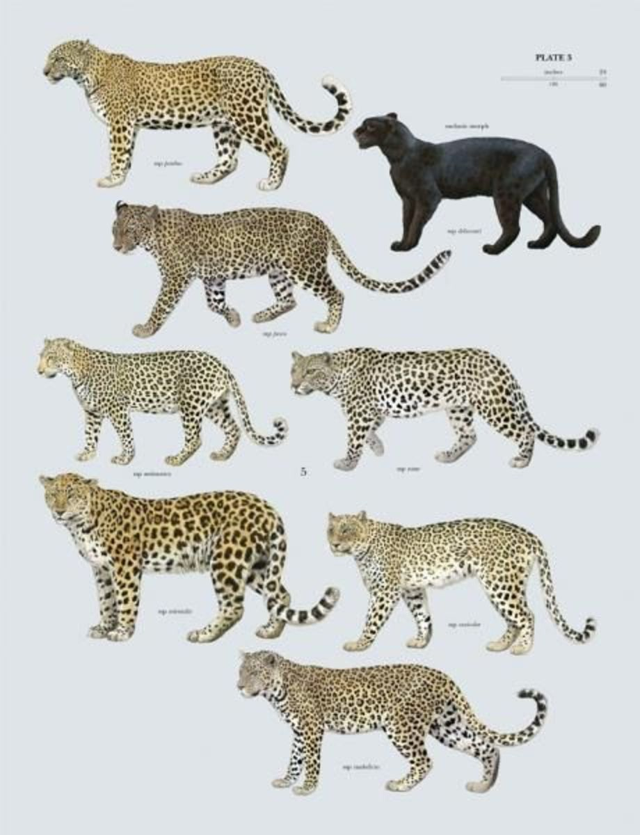 The basic colour variants in leopards - Pinterest