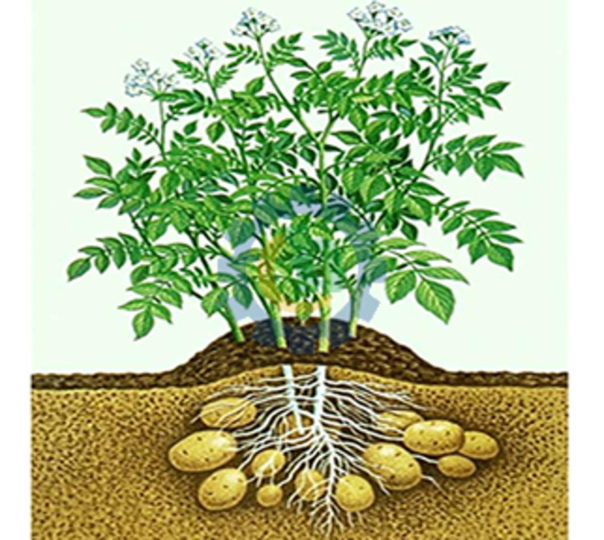 Potatoes grow underground
