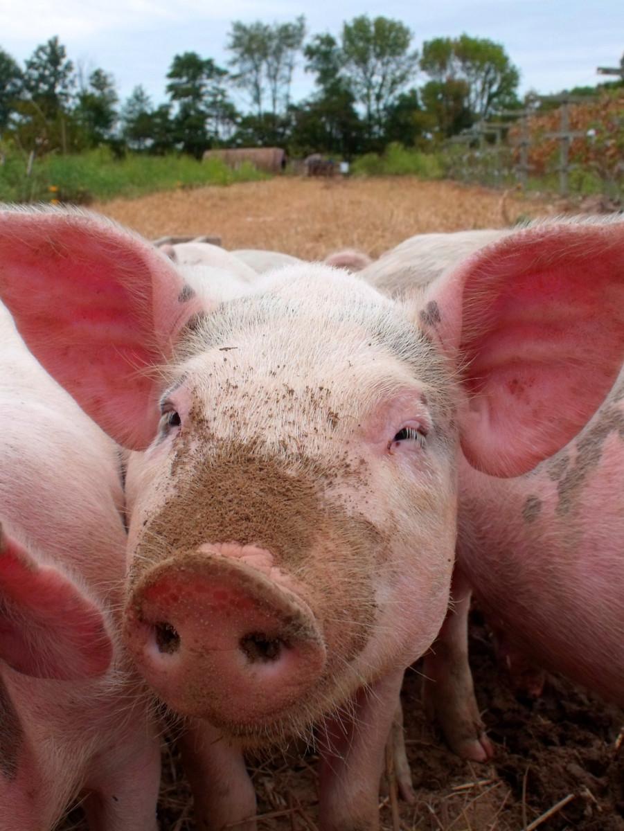 Swine Products