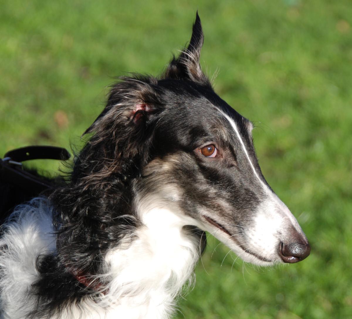 Borzoi (Scientific Name: Canis Lupus Familiaris)