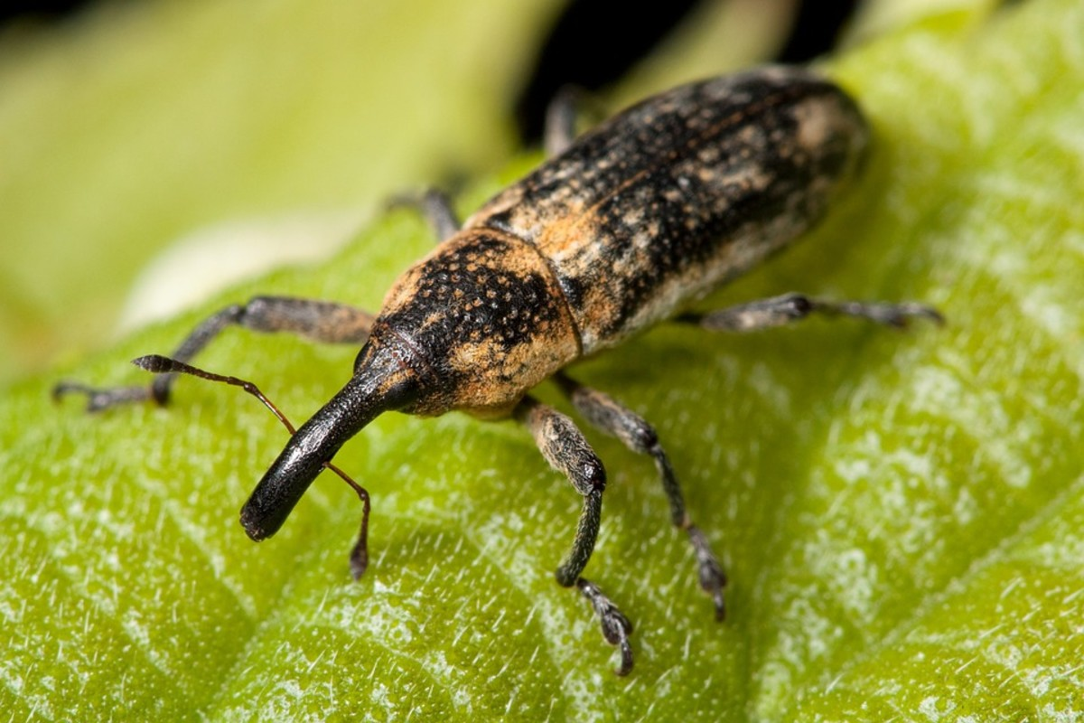 Long-nosed Weevil - Rhinotia hemistictus