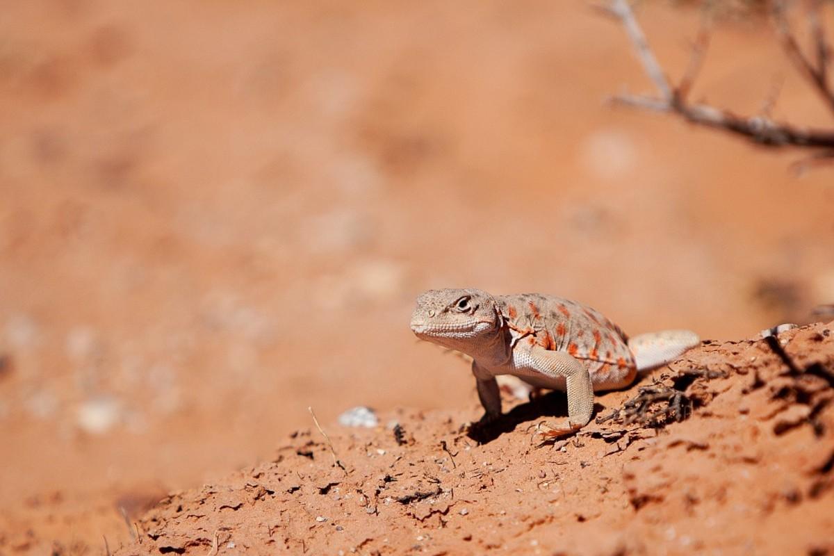 Long-nosed Leopard Lizard - Gambelia wislizenii