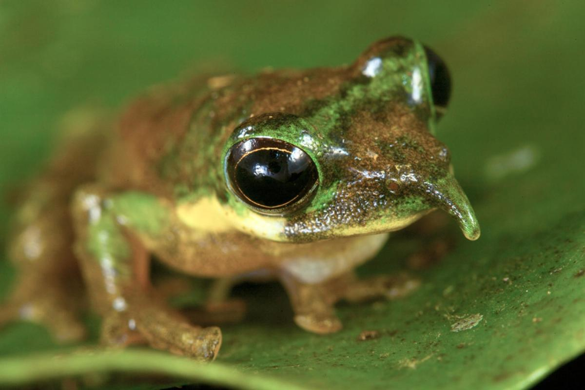 The Nosey Pinocchio Tree Frog