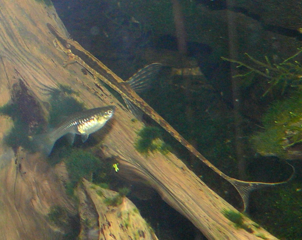 Twig or Whiptail Catfish