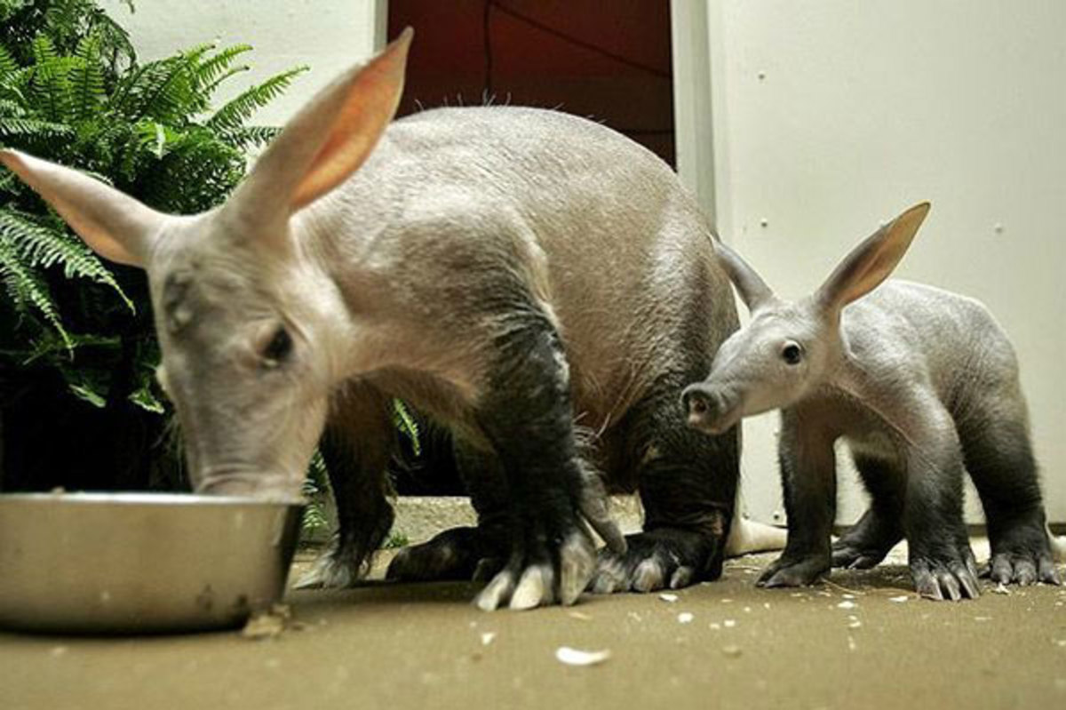 Aardvark (Scientific Name: Orycteropus afer)