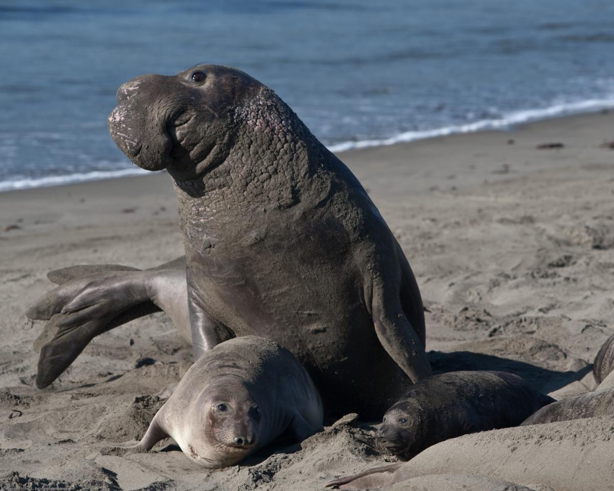 Elephant Seals (Scientific Name: Mirounga)