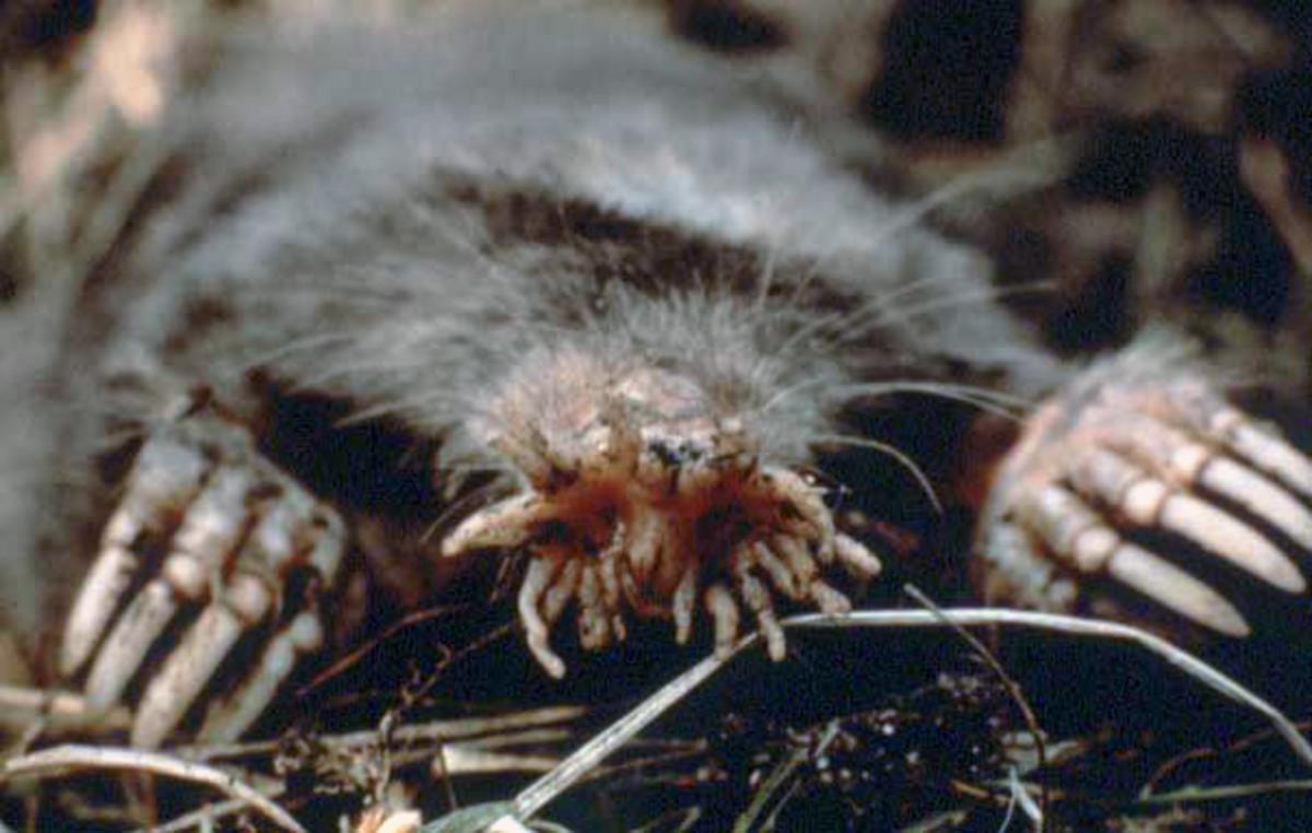 Star-Nosed Mole (Scientific Name: Condylura Cristata)